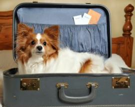 Dog sitting in a suitcase.