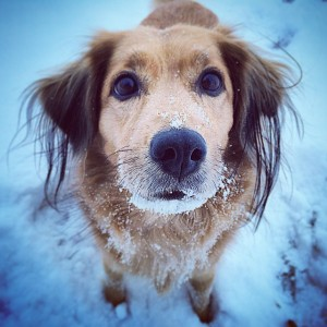 A dog, McKinley, with snow covering her mouth, staring at the camera while standing in the snow.