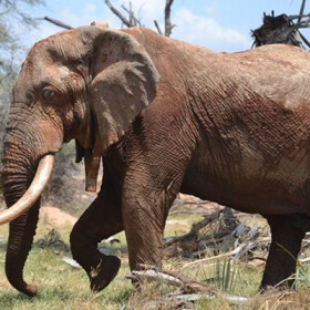 GPS, cell phones help protect African elephants