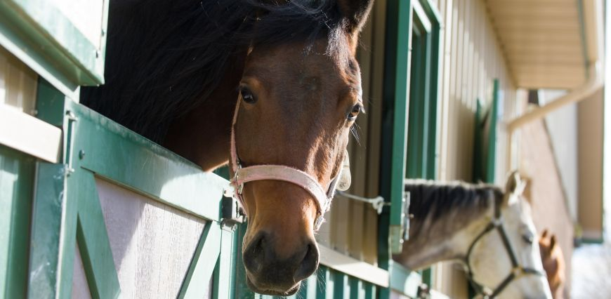 Horses look out of their stalls outside the Colorado State University Orthopaedic Research Center barn.