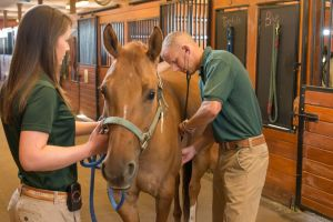 Luke Bass, Equine Field Practice, checks a horse at the Orthopaedic Research Center at the Veterinary Teaching Hospital, Colorado State University, August 20, 2014