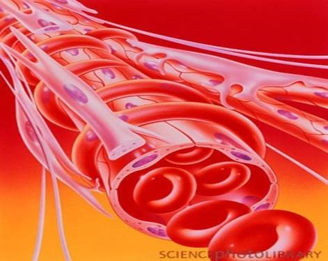 Study: What causes blood vessels to expand during exercise? | SOURCE ...