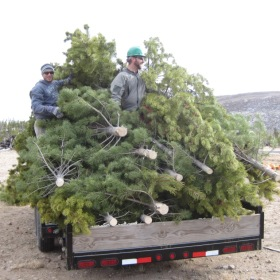 O, Christmas Tree: To charity from Pingree