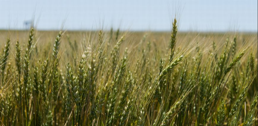 A close-up picture of wheat, with the wheatfield and sky in the background