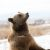 Marley, a rescued grizzly bear, stands up on her two hind feet and stares at the sky