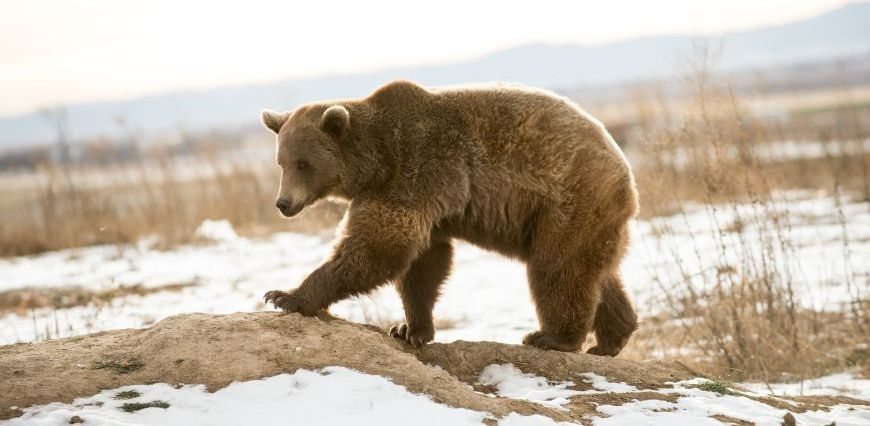 Marley, a rescued grizzly bear, climbing a small hill in her new habitat