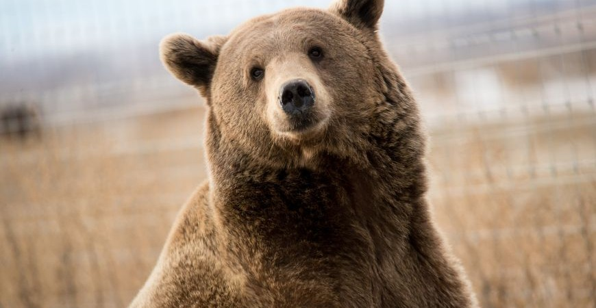Marley, a rescued grizzly bear, looking at the camera