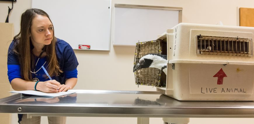 Veterinary student looks at Tess the penguin as Tess exits her cage at the CSU vet hospital