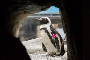 Tess the penguin at her habitat at the Pueblo Zoo