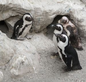 Tess the penguin is greeted by other penguins during her re-release at the Pueblo Zoo