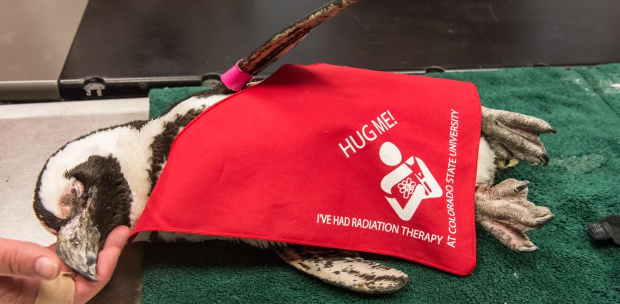 Tess the penguin rests after radiation therapy in a red jacket