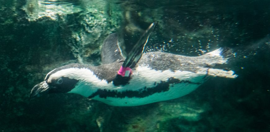Tess the penguin swimming