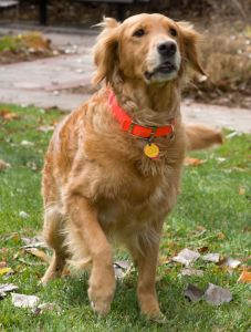 Golden retriever with a red collar begins to run while outside.