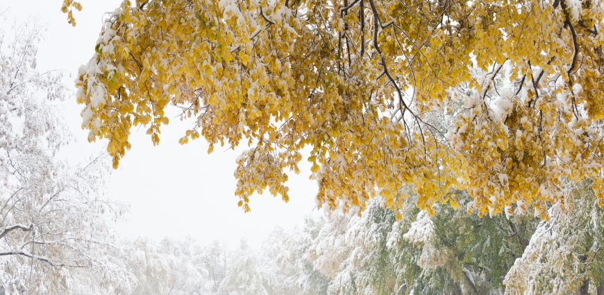 Yellow leaves on a tree withstand the winter snow
