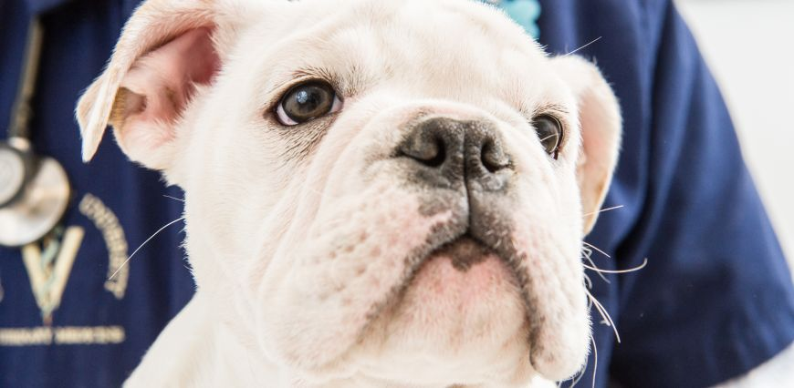 Bulldog puppy headshot