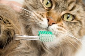 Closeup of a cat with a toothbrush