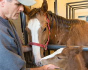 Dr. McCue examines a foal and mare earlier this month.