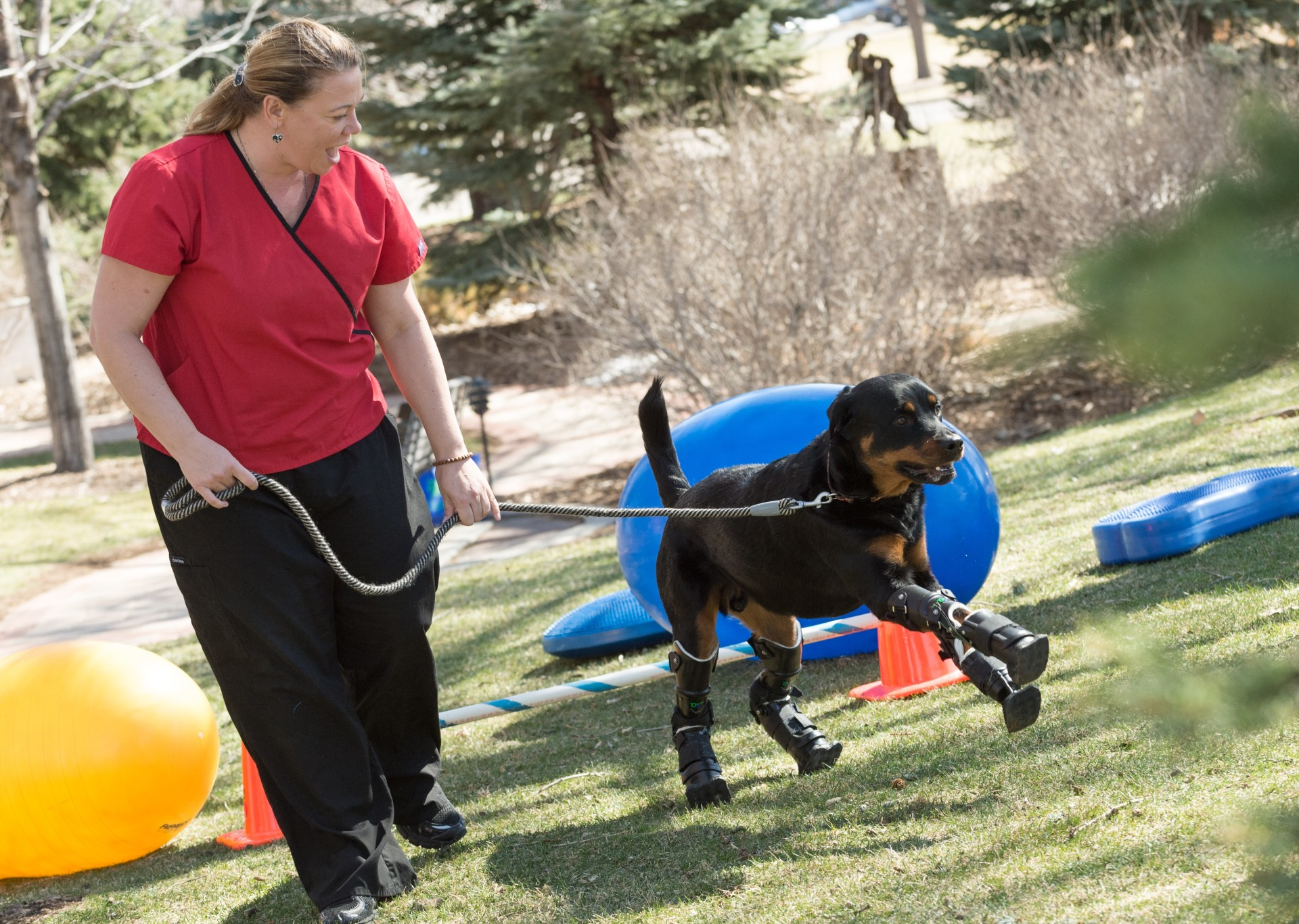 Better paws for Brutus  CSU helps quadruple-amputee dog  27b895a575