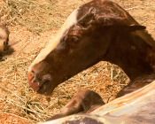 A filly enters the world and takes her first breath. Most mares foal in the middle of the night, and uneventful births typically take about 15 minutes from start to finish.