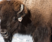 A female bison