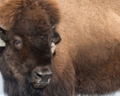 Female bison