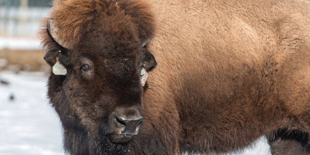 Northern Colorado bison project uses high-tech breeding to
