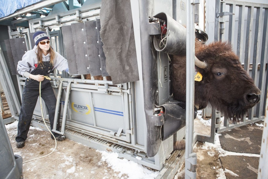 Reproductive scientist Jennifer Barfield examines a bison female for pregnancy at CSU's Foothills Campus.