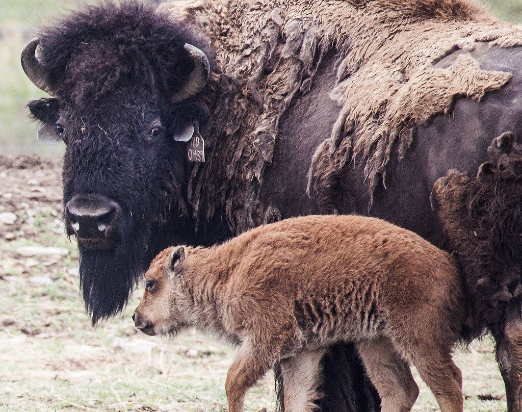 A baby bison stands by grown bison