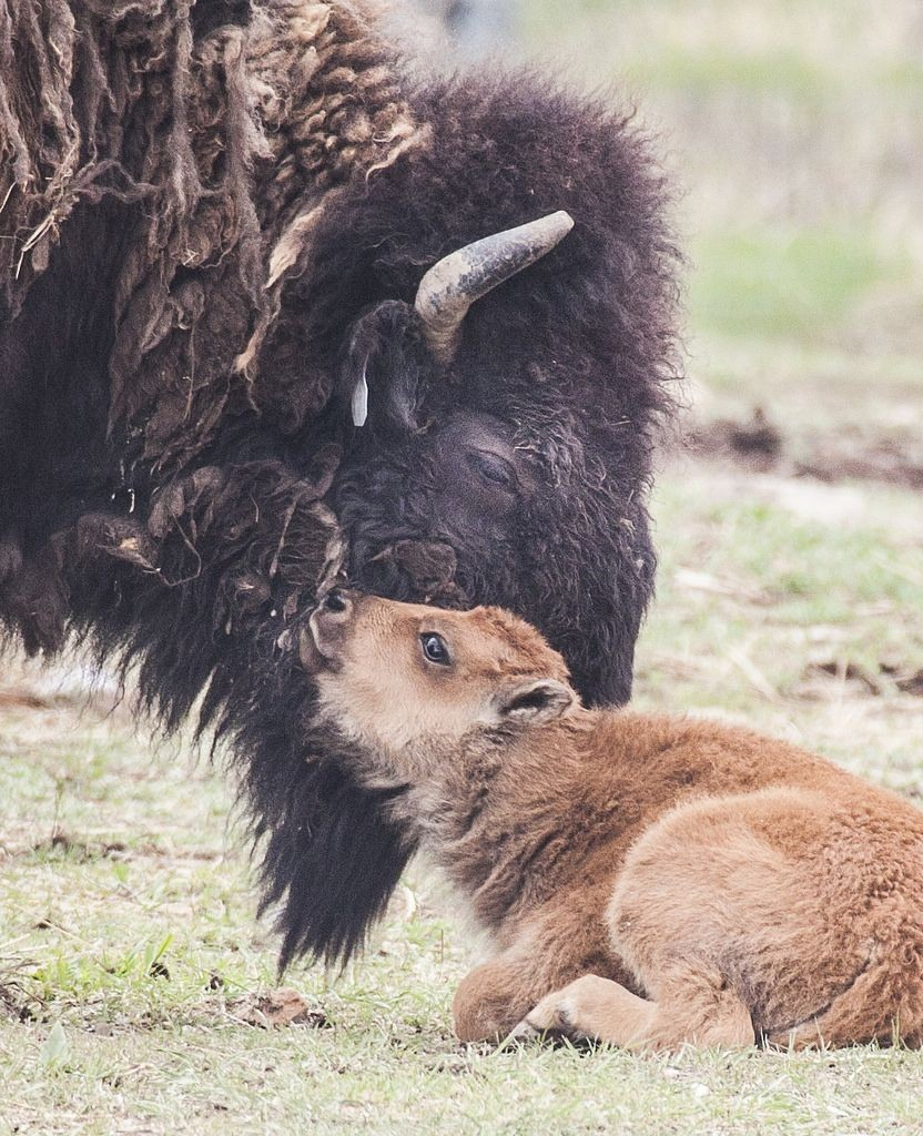 A baby bison nudges grown bison with head