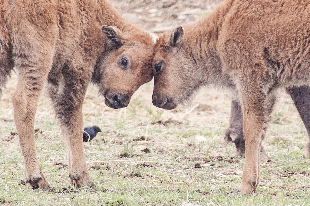 Two baby bison touch heads together