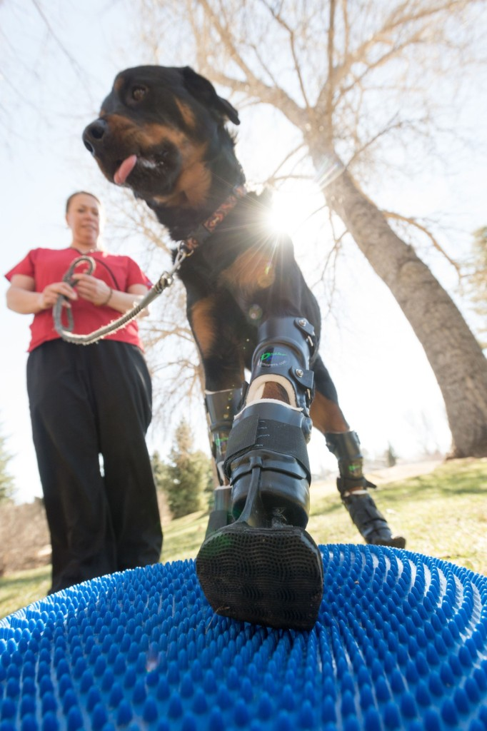 Brutus, a rottweiler who is a quadruple-amputee, does physical therapy with Sasha Foster. March 10, 2015