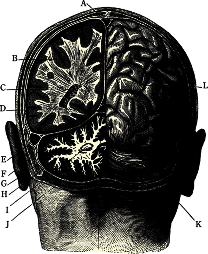 Picture of the back of a head without a skull, so that the brain is open. Unlabeled alphabetical markers surround the head.