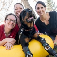 Better paws for Brutus: CSU helps quadruple-amputee dog