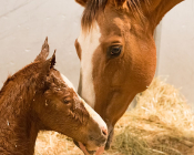 A mare nuzzles her filly minutes after giving birth at the Colorado State University Equine Reproduction Laboratory in early March..
