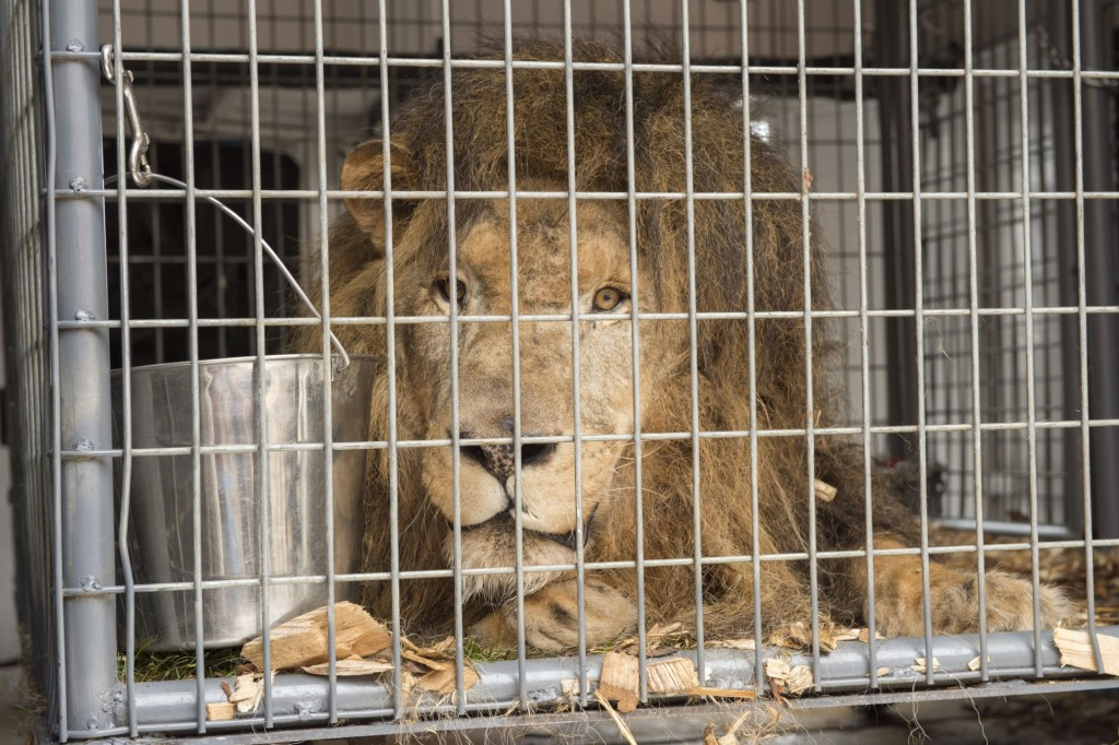 Guero, a male African Lion gets some much needed medical attention at the Colorado State University College of Veterinary Medicine and Biomedical Sciences, April 27, 2015.