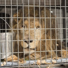 King of the jungle is rescued, then gets royal treatment at veterinary hospital