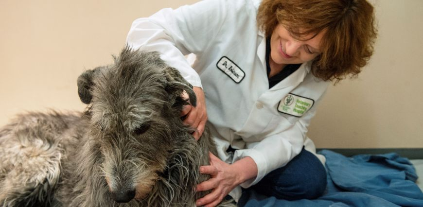 Dr. Narda Robinson, Director of the Center for Comparative and Integrative Pain Medicine works with Madson White an Irish Wolfhound providing pain relief in the form of gentle massage, April, 6, 2015.