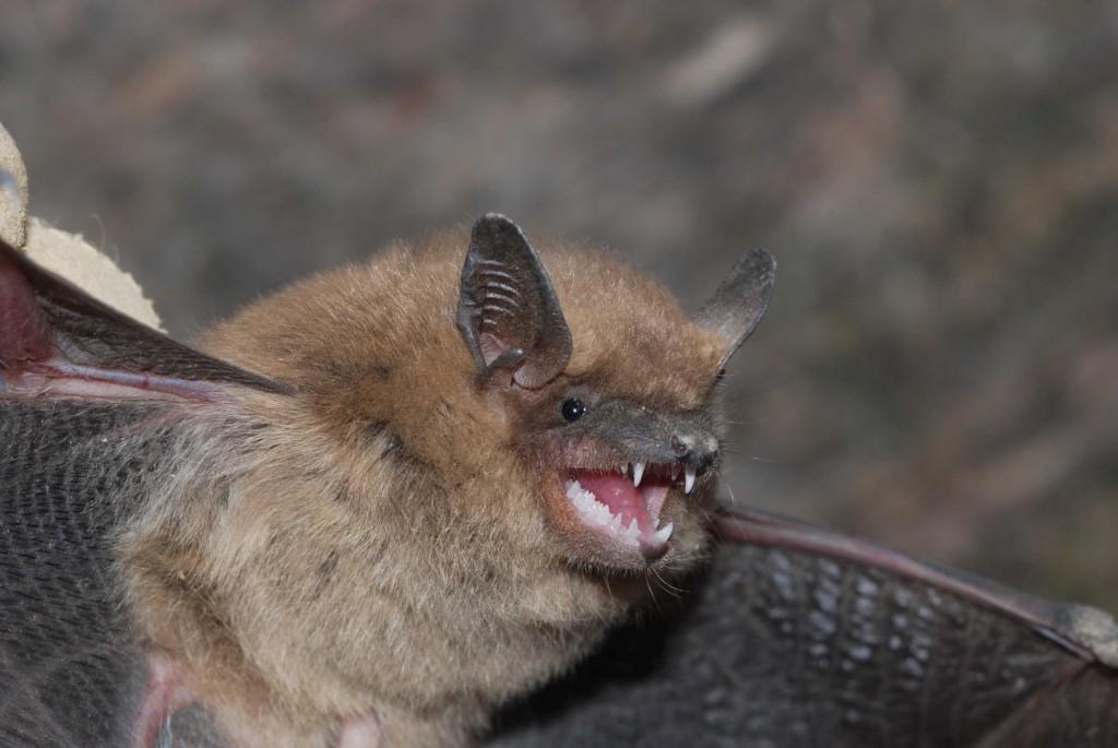 rabies.bat