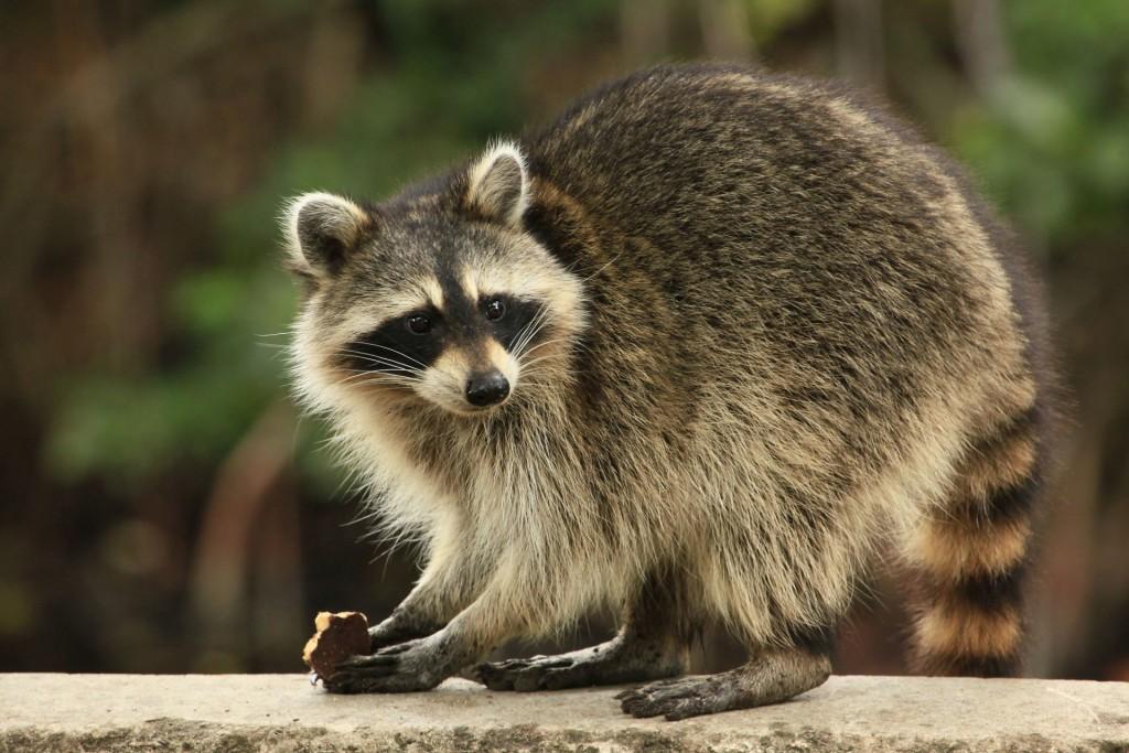 rabies.racoon