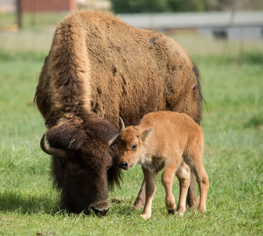 A genetically pure bison calf is born at the National Wildlife Research Center June 5, 2015