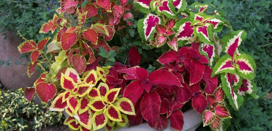 Container Gardening With Coleus