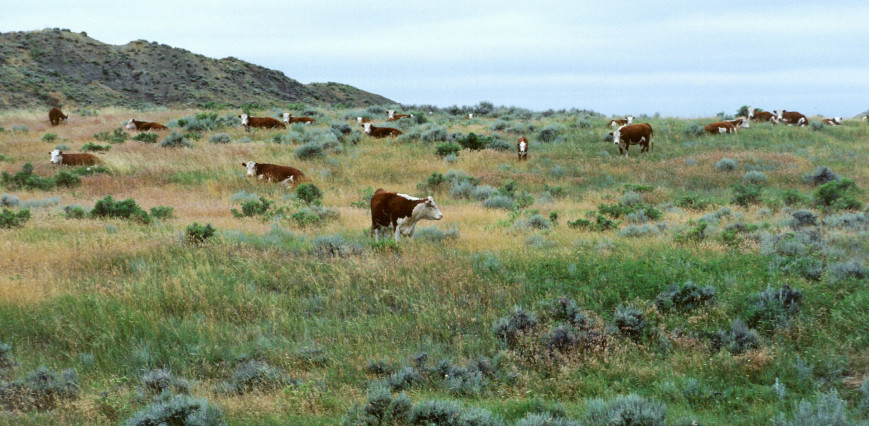 photo of cows