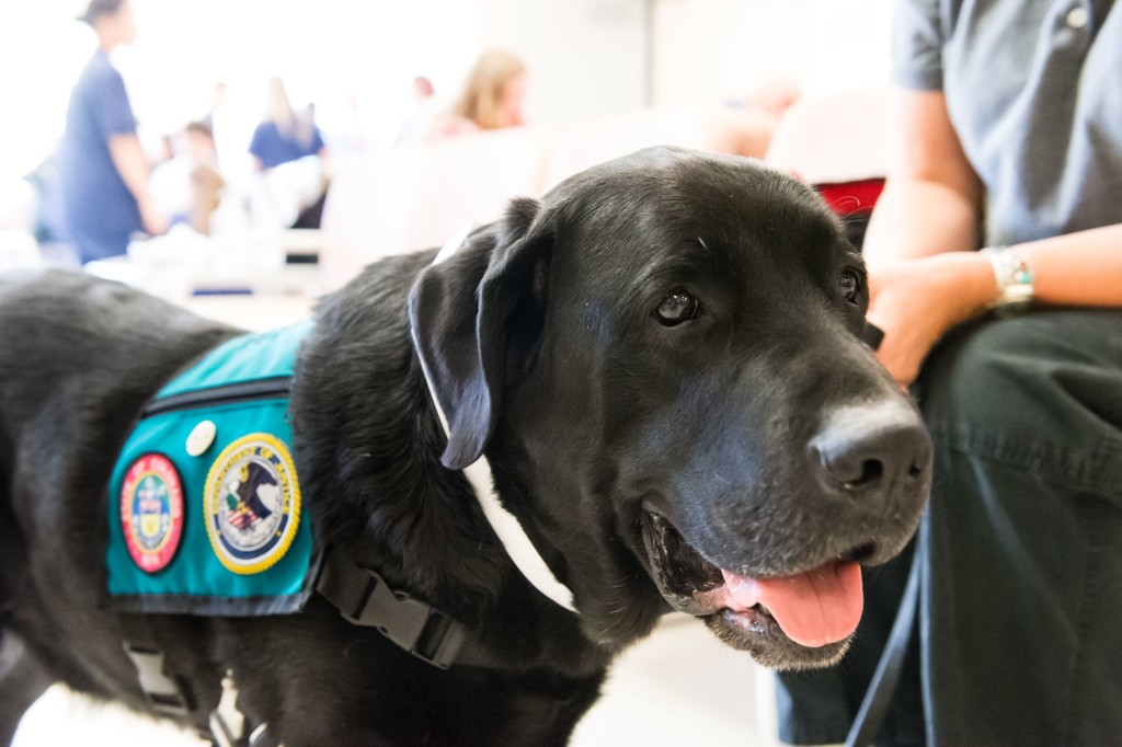 Kateri Nelson's dog Chester, a therapy dog with Animals for Therapy, visits Colorado State University's Veterinary Teaching Hospital to be assessed for neck and back pain, September 10, 2015.