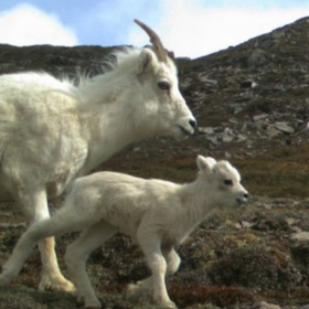 New techniques used to study Alaskan Dall sheep