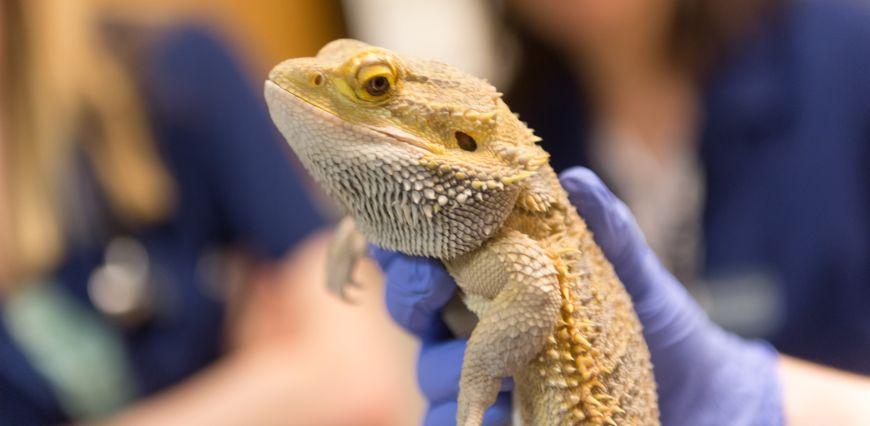 Dr. Sarah Higgins, Exotic Animal Intern, examines a bearded dragon at the Veterinary Teaching Hospital, Colorado State University, February 16, 2015