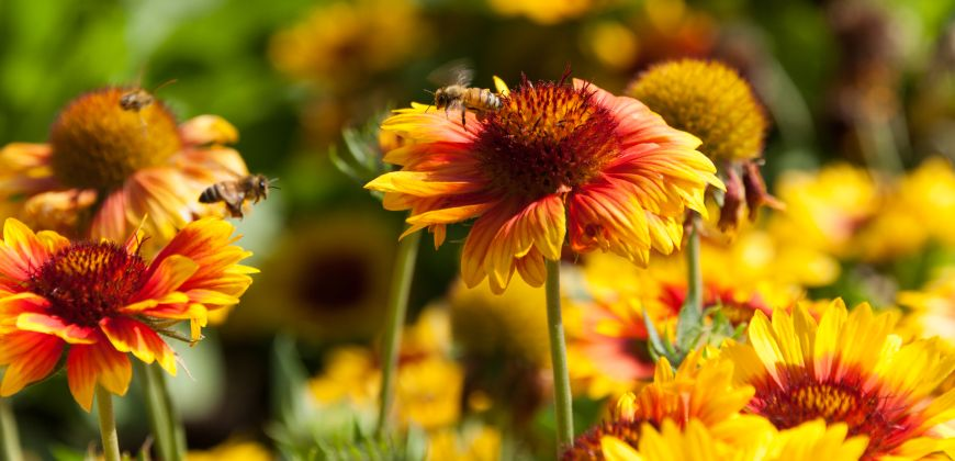 photo of bees on orange and yellow flowers