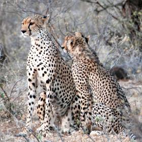 Cheetah conservation expert to speak Oct. 14