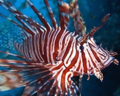 Lionfish swimming in the ocean