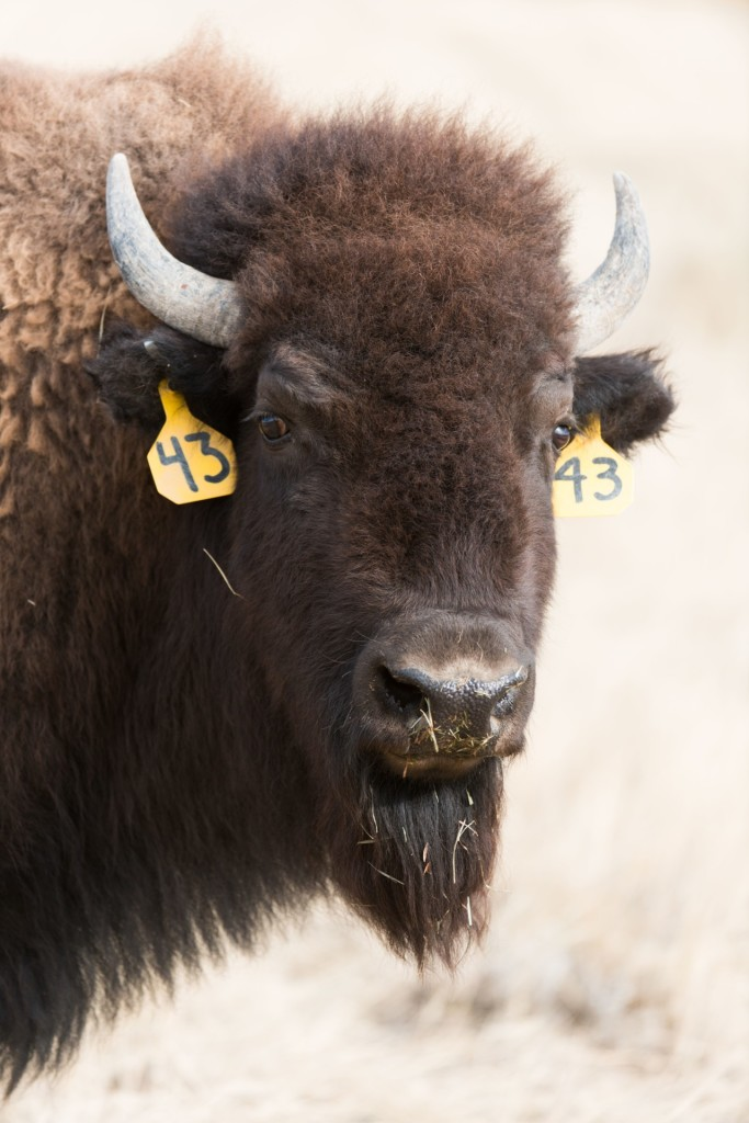 The Laramie Foothills Bison Conservation Herd, a genetically pure, Brucella abortus-free bison herd is released in the City of Fort Collins Soapstone Prairie Natural Area and Larimer County Red Mountain Open Space, November 1, 2015, National Bison Day.