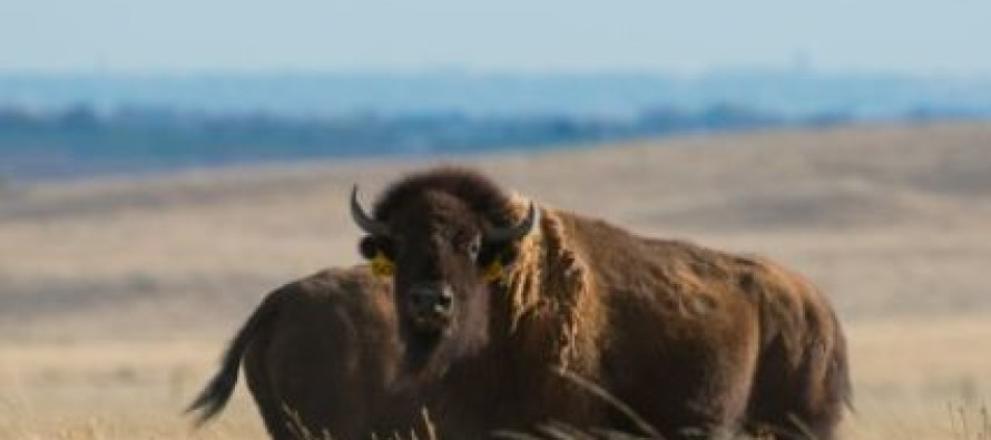 Science and ceremony herald the return of bison to northern Colorado grasslands